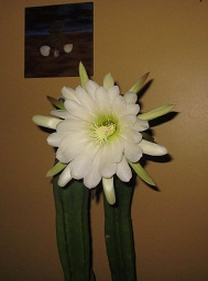 San Pedro Cactus flower